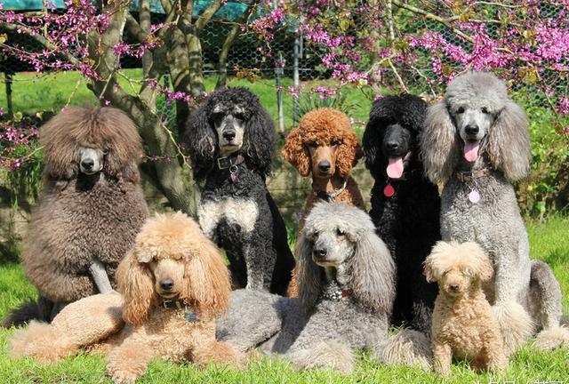 贵宾犬好养吗?